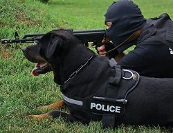 Rottweiler Working Dog