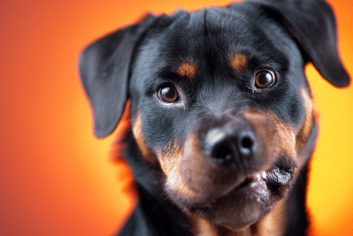 Resultado de imagen para 7 Stress Signals in Your Rottweiler Dog
