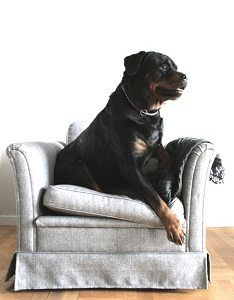 Rottweiler Jumping On The Furniture