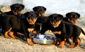 Rottie Puppy Adoption