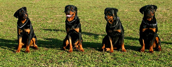 Check out our Rottweiler Training Guide >>